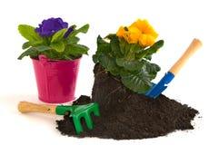 primulas de jardinage Photographie stock libre de droits