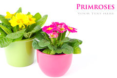 Primulas with different colors in colorful buckets Stock Photography