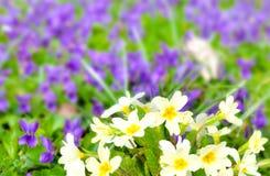 Primulas hermosos Imagen de archivo libre de regalías