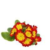 primulas isolated on white, spring flowers primrose Royalty Free Stock Images