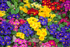 Primulas in an Istanbul park Stock Images