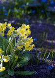 Primulas veris Stock Photo