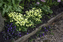 Primulas and violets. Spring garden border with primulas and violets on the diagonal Stock Photo