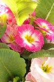 Primulaväxten med rosa blommor stänger sig upp i det stående formatet royaltyfria foton