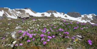 Primule di fioritura alla montagna del fellhorn, alpi di allgau Immagine Stock