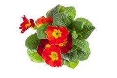 Primule rosse isolate su fondo bianco la molla fiorisce il primro Immagini Stock Libere da Diritti
