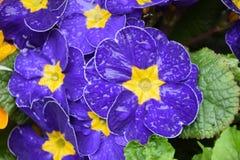 Primulor blommar i de första varma dagarna av vår 019 Royaltyfri Fotografi