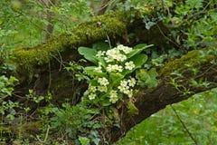 Primulor i skogsmark Royaltyfri Fotografi