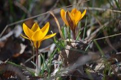 Primulor i vårskog Royaltyfria Bilder