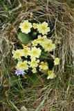 Primulor p? den walesiska kustlinjen royaltyfria bilder