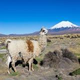 与Prinacota火山,玻利维亚的安地斯山的风景 免版税库存图片