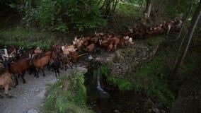 Princípio de um rebanho das cabras que cruzam um rio com uma cachoeira pequena video estoque