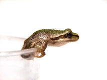 Prince Charming. A frog in a cup getting ready to jump Stock Photography