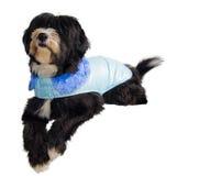 Prince Charming dog. A black dog sweet Prince Charming blue Royalty Free Stock Photo