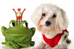 Prince charming Pup. Shot of a frog Prince charming Pup Royalty Free Stock Photos