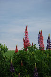 Prince edward island lupin Royalty Free Stock Photo