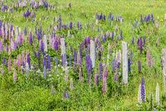 Prince Edward Island Lupins Royalty Free Stock Photo