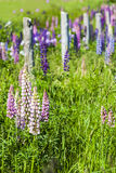 Prince Edward Island Lupins Royalty Free Stock Photos