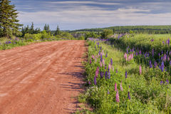 Prince Edward Island Lupins Stock Photos