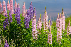 Prince Edward Island Lupins. Lupins growing wild  and flowering along the roadsides and streams or rural Prince Edward Island, Canada Royalty Free Stock Photo