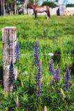 Prince Edward Island Lupins Royalty Free Stock Photography