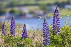 Prince Edward Island Lupins Stock Photography