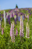 Prince Edward Island Lupins Stock Photo
