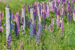 Prince Edward Island Lupins Stock Photography