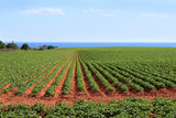 Prince Edward Island potato field Stock Photography