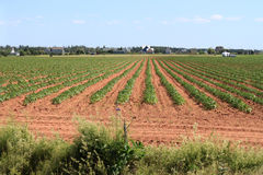 Prince Edward Island potato field Stock Photo
