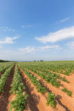 Prince Edward Island Potato Field Royalty Free Stock Image
