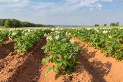 Prince Edward Island Potato Field Royalty Free Stock Photo