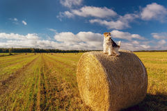 Prince Edward Island Wire Fox Terrier Stock Images