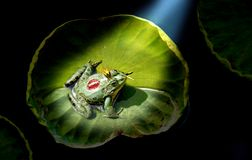Prince frog. In the spotlight Stock Image