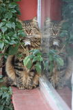 Princes Island Tabby cat with reflection Royalty Free Stock Photography