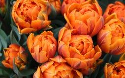 Princesa anaranjada de los tulipanes Últimos tulipanes dobles Primavera en los Países Bajos fotos de archivo libres de regalías
