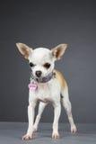Princesa Chihuahua Imagenes de archivo