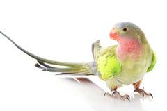 Princesa del Parakeet de País de Gales Foto de archivo