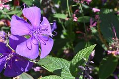 Princesa Flower Glory Bush Fotografia de Stock Royalty Free