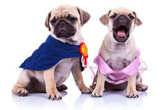 Princess and champion pug puppy dogs Royalty Free Stock Photos