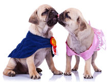 Princess and champion pug puppy dogs kissing Royalty Free Stock Photos