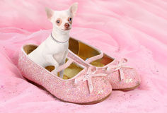 Princess chihuahua Obrazy Stock