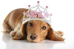 Princess Dachshund стоковые фото