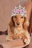 Princess dachshund Stock Images