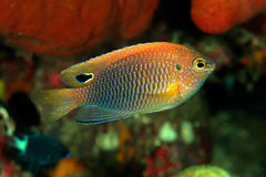 Princess damselfish (Pomacentrus vaiuli) Stock Photography