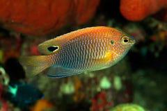 Princess damselfish (Pomacentrus vaiuli) Stock Photography