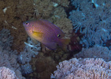 Princess damselfish Stock Images
