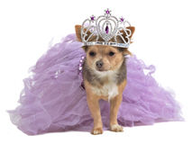 Princess dog with diadema and dress Royalty Free Stock Image
