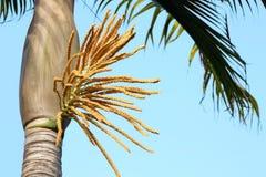 Princess drzewko palmowe w kwiacie Obraz Stock