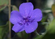 Princess Flower Stock Photo